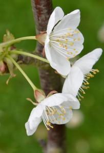 fleurs-cerisier02